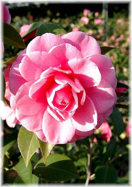 Kamelie Camellia japonica ´Mrs Tingley`