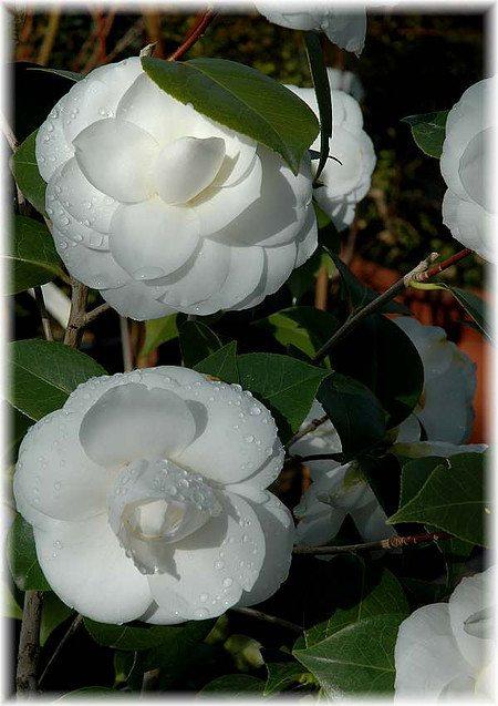 Kamelie Camellia japonica ´Perfection White`