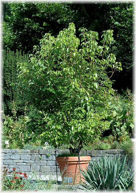Kampferbaum, Zimtlorbeer Cinnamomum camphora