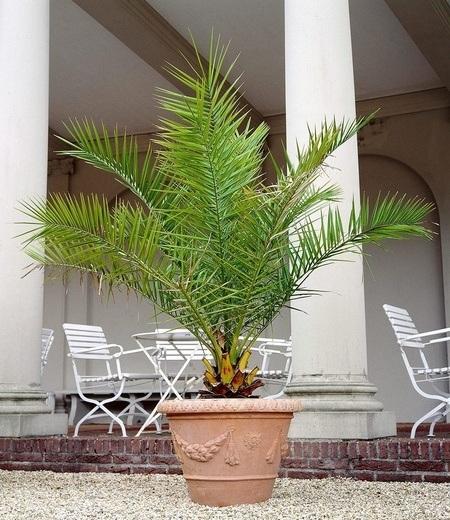 Kanarische Dattelpalme,1 Pflanze