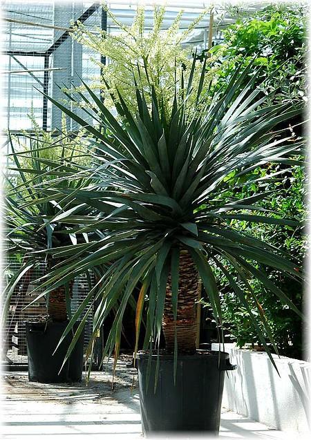 kanarischer drachenbaum dracaena draco verzweigt g nstig online kaufen mein sch ner garten shop. Black Bedroom Furniture Sets. Home Design Ideas