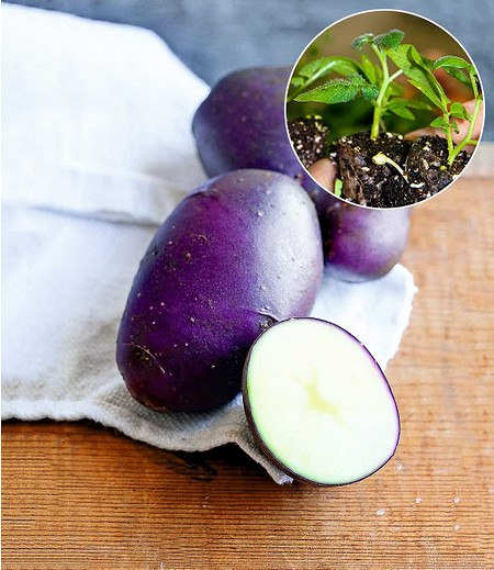 "Kartoffel-Pflanze ""Blue Danube"",3 Jungpflanzen"