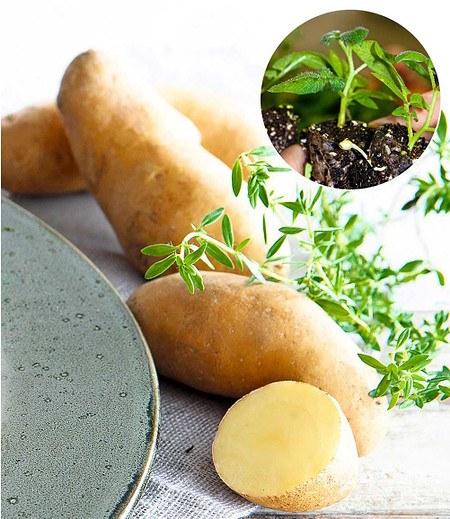 "Kartoffel-Pflanze ""La Ratte"",3Jungpflanzen"
