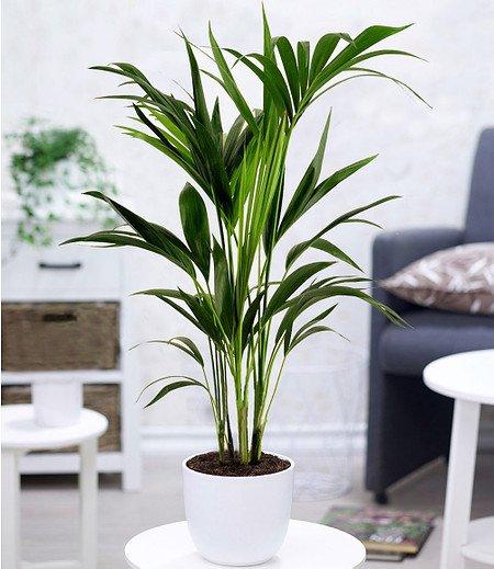 Kentia Palme,1 Pflanze