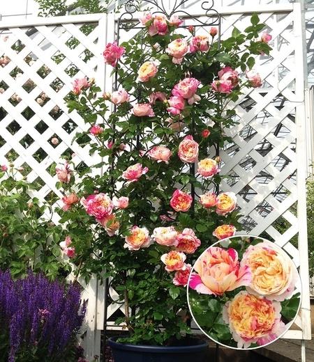 "Kletter-Rose ""Julie Andrieu®"",1 Pflanze"