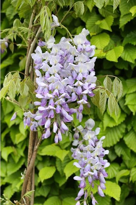 Kletterpflanze JapanischerBlauregen