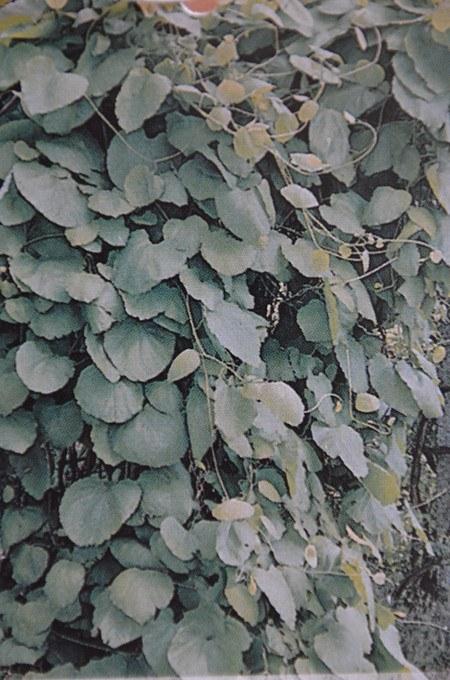 Kletterpflanze Pfeifenwinde