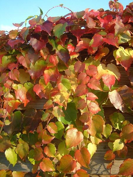 Kletterpflanze Wilder Wein'Green Spring'