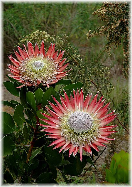 Königs-Protea Protea cynaroides ´Mini King`