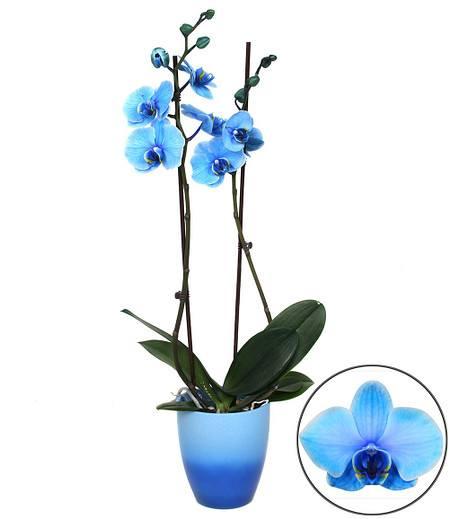 Königsblaue Phalaenopsis, 2 Triebe,1 Pflanze