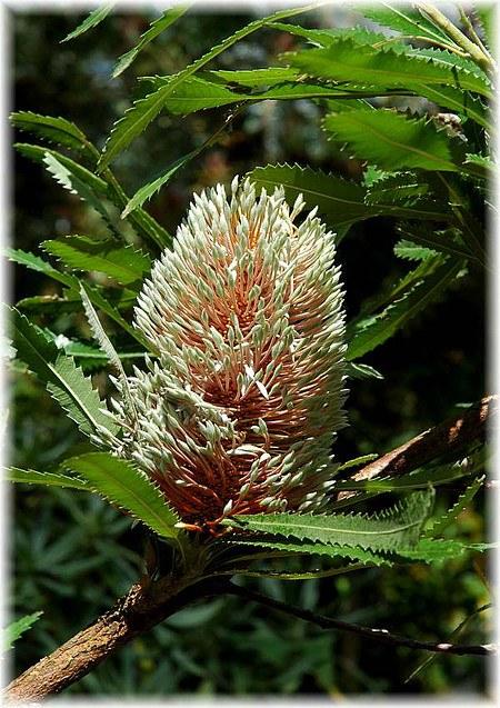 Küsten-Banksie Banksia integrifolia