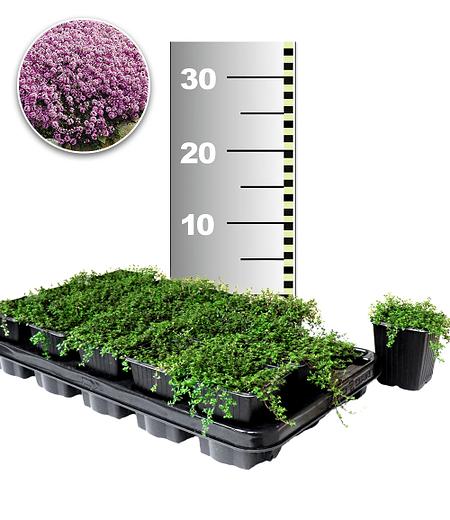 Langhaariger Gebirgs-Thymian 25 Stk.,25Pflanzen