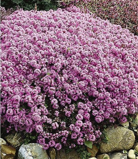 Langhaariger gebirgs thymian 3 pflanzen g nstig online for Gartengestaltung schattiger garten