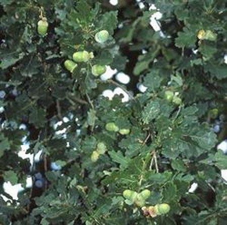 Laubgehölz Quercus robur