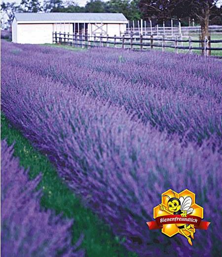 """Lavendel """"Phenomenal®"""",2 Pflanzen"""