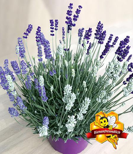 "Lavendel-Trio ""Bee Zee"",1 Pflanze"