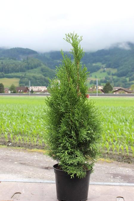 Lebensbaum, Orientalischer Lebensbaum 'Smaragd' (5 Stk, H: ca 80 cm)