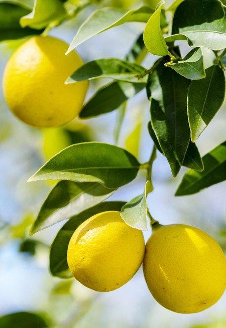Limequat - Citrus limequat