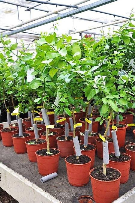 Limettenbaum (Persische Limette) Spanische - Citrus latifolia
