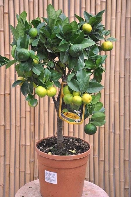 Limettenbaum (Römische Limette) - Citrus limetta Pursha