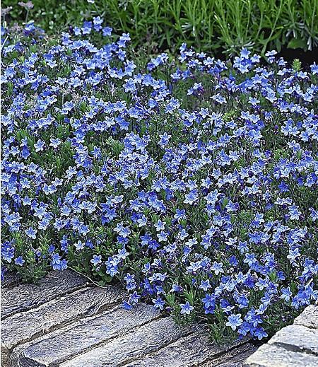 """Lithodora """"Heavenly Blue"""",3 Pflanzen"""