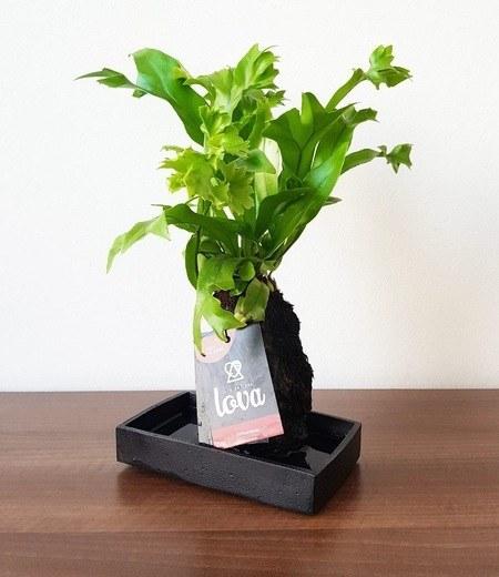 "Lova Farn ""Green Flame"",1 Pflanze"
