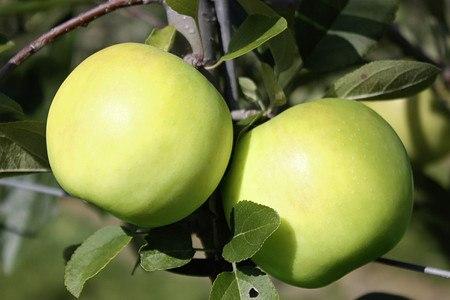 Lubera Apfel Bionda® Bella