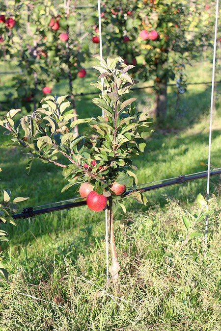 Lubera Apfel Lowfruit®Maloni Gullivers®