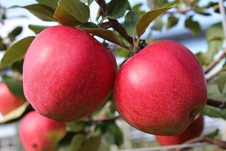 Lubera Apfel Paradis Elegance als Hochstamm, 3-jähr Hochstamm