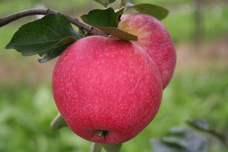 Lubera Apfel Paradis® Fantasia®