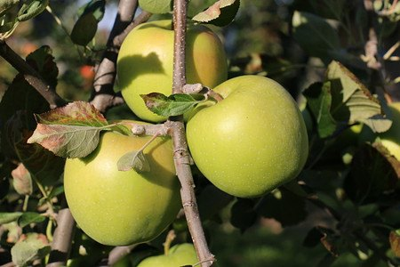 Lubera Apfel Paradis Granny Swiss als Hochstamm, 3-jähr Hochstamm
