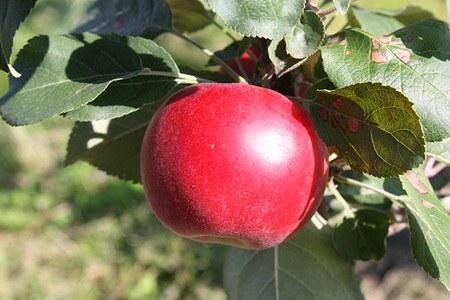Lubera Apfel Paradis® Julka® - Hochstamm