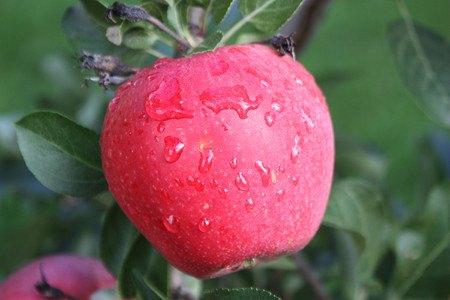 Lubera Apfel Paradis® Myra® - Hochstamm