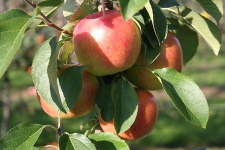 Lubera Apfel Paradis New Year als Hochstamm, 3-jähr Hochstamm