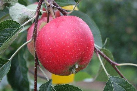 Lubera Apfel Paradis Ninifee als Hochstamm, 3-jähr Hochstamm