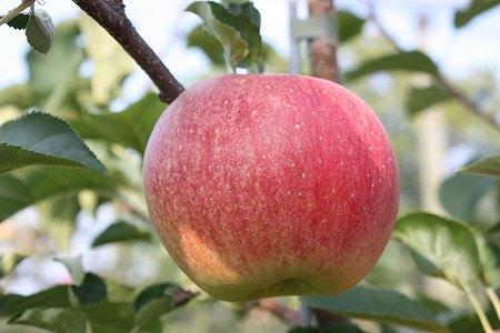Lubera Apfel Paradis® Sparkling®
