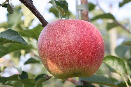 Lubera Apfel Paradis Sparkling als Hochstamm, 3-jähr Hochstamm