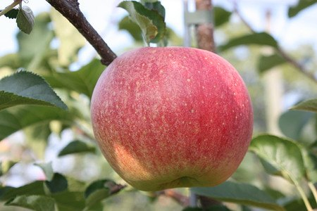 Lubera Apfel Paradis Sparkling alsHochstamm, 3-jähr Hochstamm