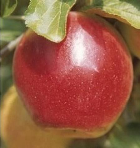 Lubera Apfel Retina - Hochstamm