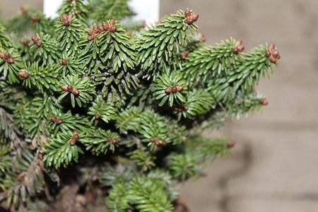 Lubera Balsamtanne 'Piccolo', Kräftige Pflanze im 2 l-Topf, 15-20 cm