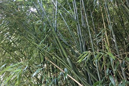 Lubera Bisset Bambusi