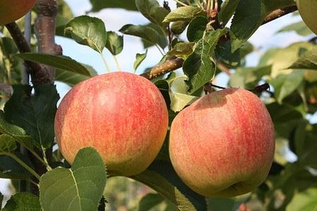 Lubera Bundle 'Knackig-spritzige Apfelsorten'