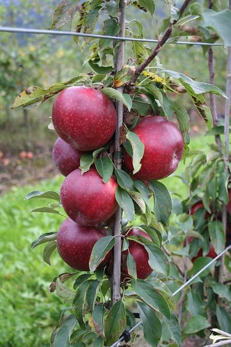 Lubera Bundle 'Malini Apfelhecke'