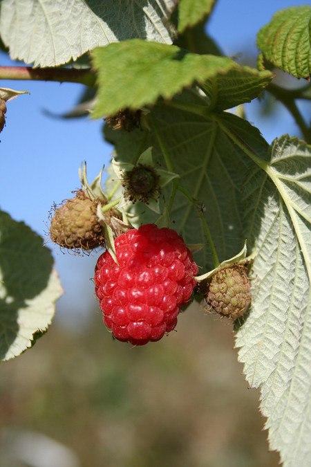 Lubera Bundle mit 18 Primeberries Autumn Best