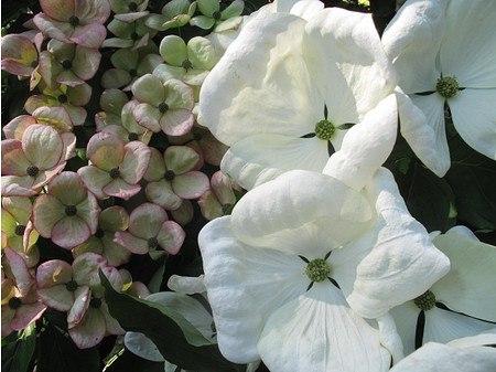 Lubera Chinesischer Blumenhartriegel, Pflanze im 5l Topf