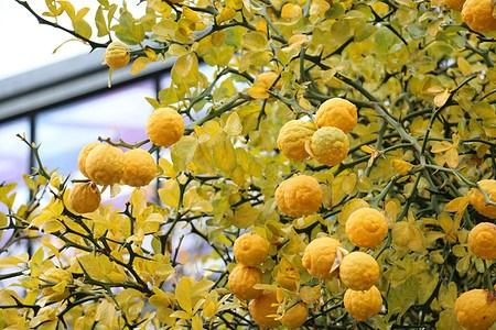 Lubera Dreiblättrige Orange