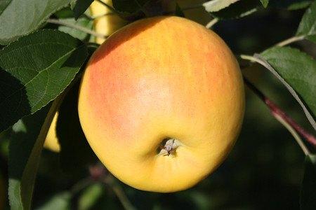 Lubera Easytree: Apfel Bionda® Marilyn®