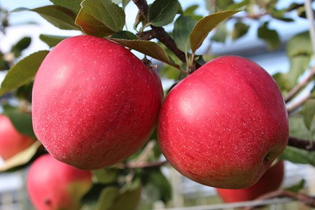 Lubera Easytree: Apfel Paradis Elegance, 1jähr Baum im 5l-Topf