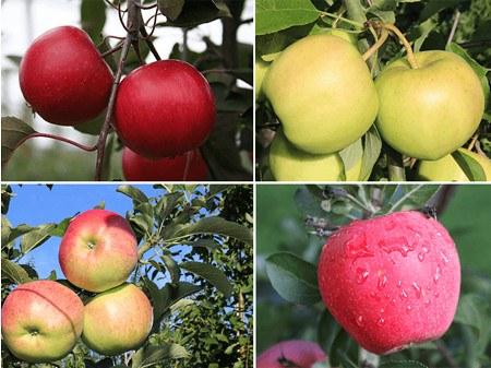 Lubera Easytrees® Apfelbäume, 4er Set je im 5 lt Topf