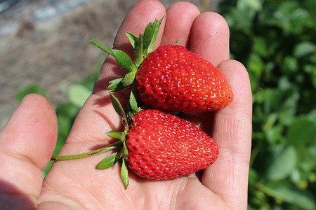Lubera Erdbeere Frutium® Belleure® 6er Träger